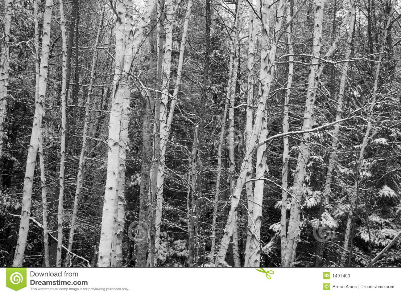 Birch trees in the winter stock photo image 2170700 - Photo Of Russian Snow Birch Forest In Winter Stock Photo