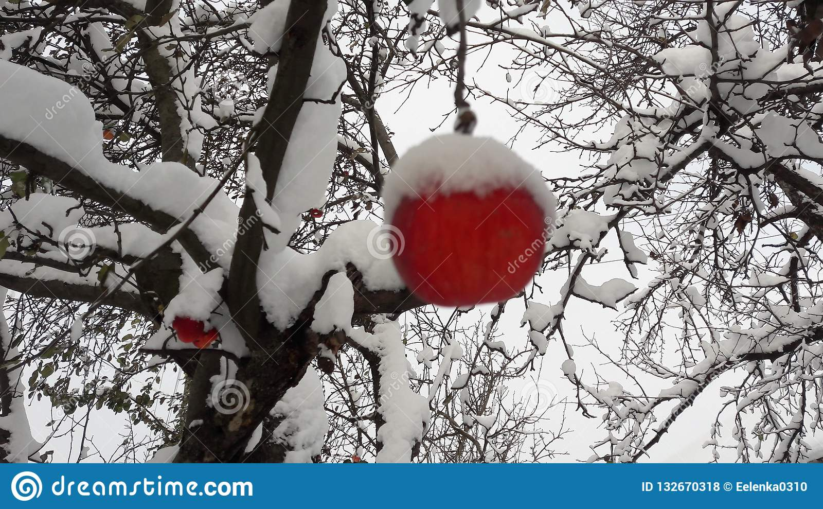 Red apples in the garden on a tree covered with snow against. Apple in winter with snow