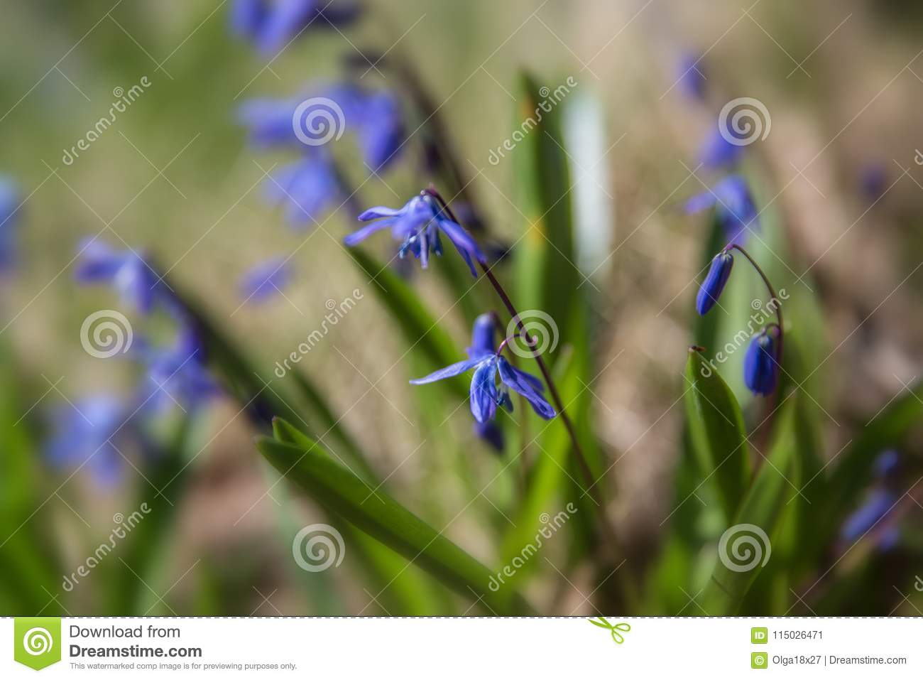Blue Flowers Of The Scilla Squill Blooming In April Bright Spring