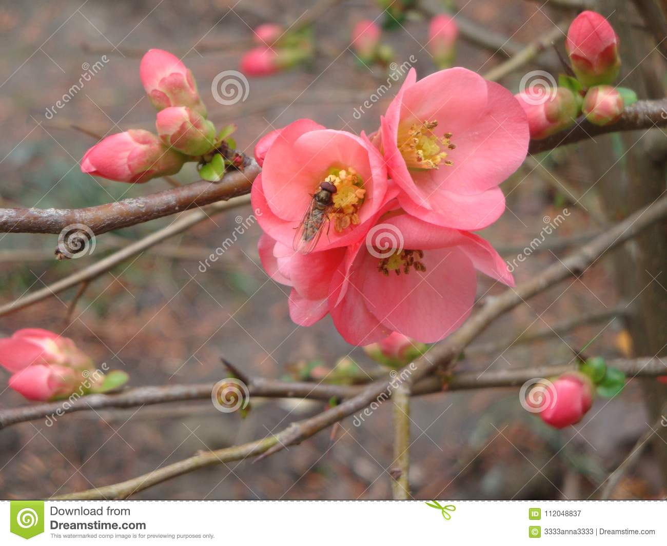 The First Spring Flower Varieties Of Japan Quince Japanese Stock