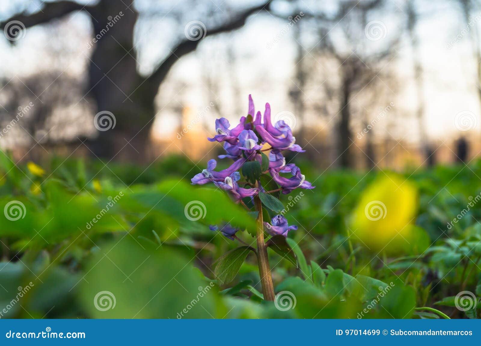 First spring flowers of corydalis hollow root on the sunset download first spring flowers of corydalis hollow root on the sunset background with huge oak mightylinksfo
