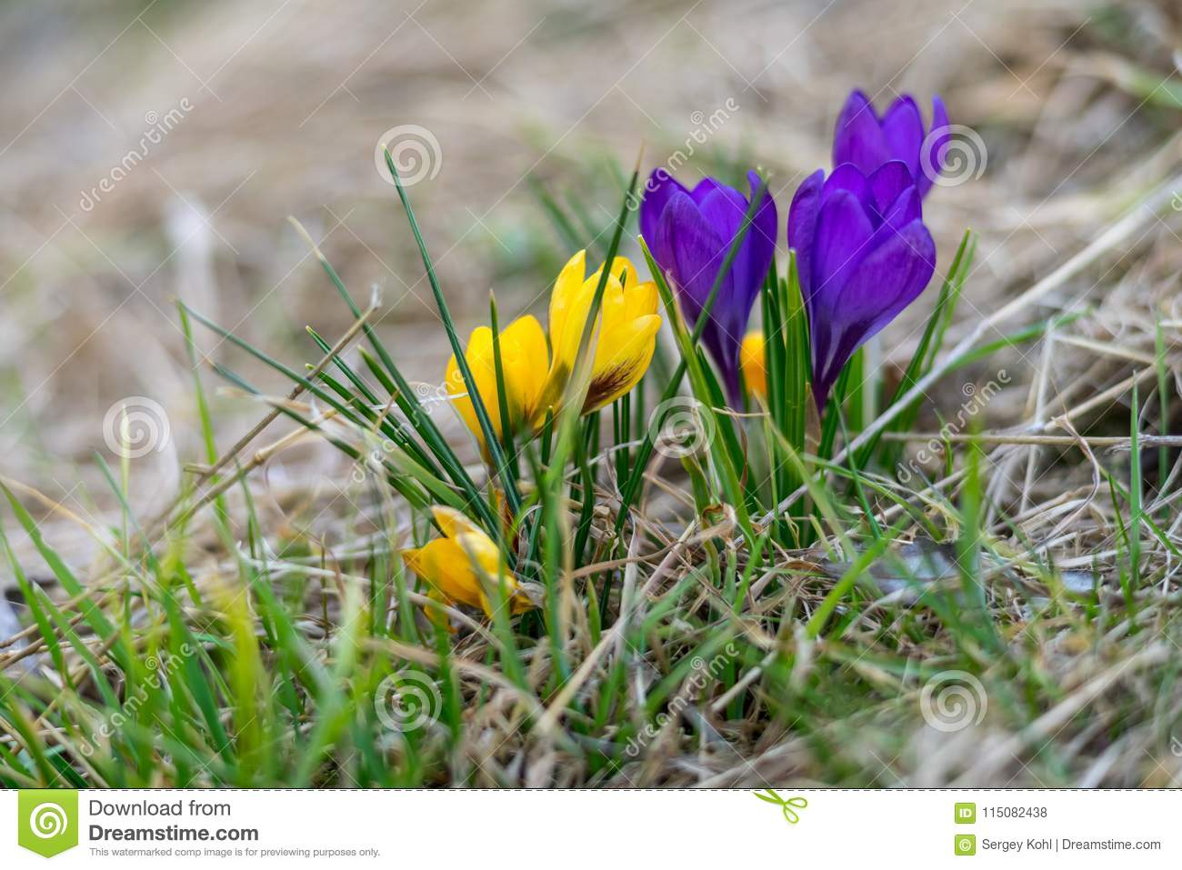 The First Spring Flowers Crocus Stock Photo Image Of Plant Field