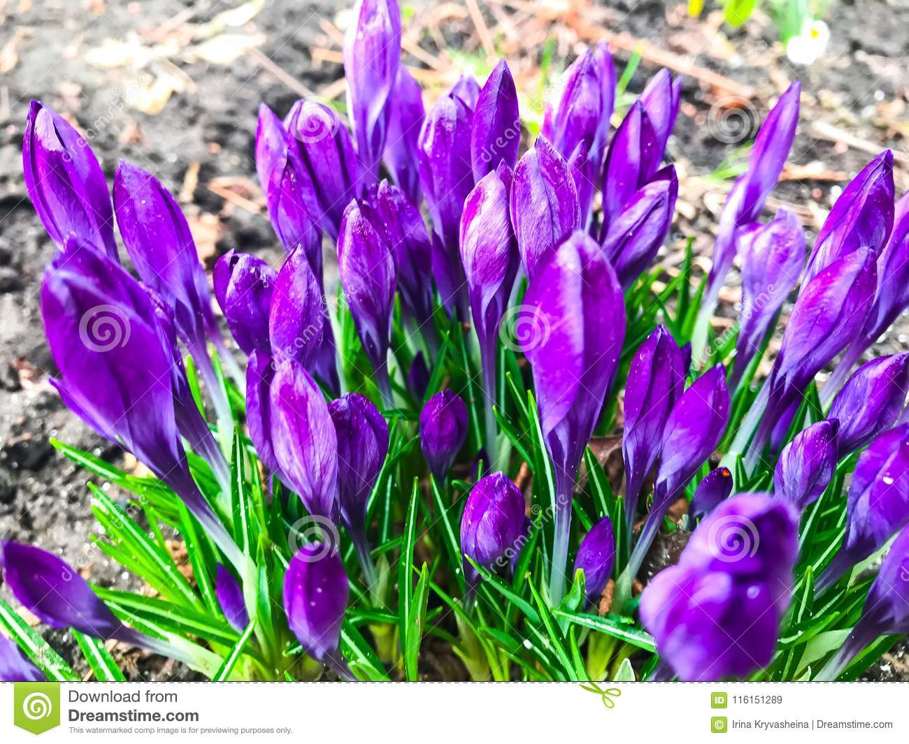 First Spring Flowers Of Crocus Stock Image Image Of Grass Earth
