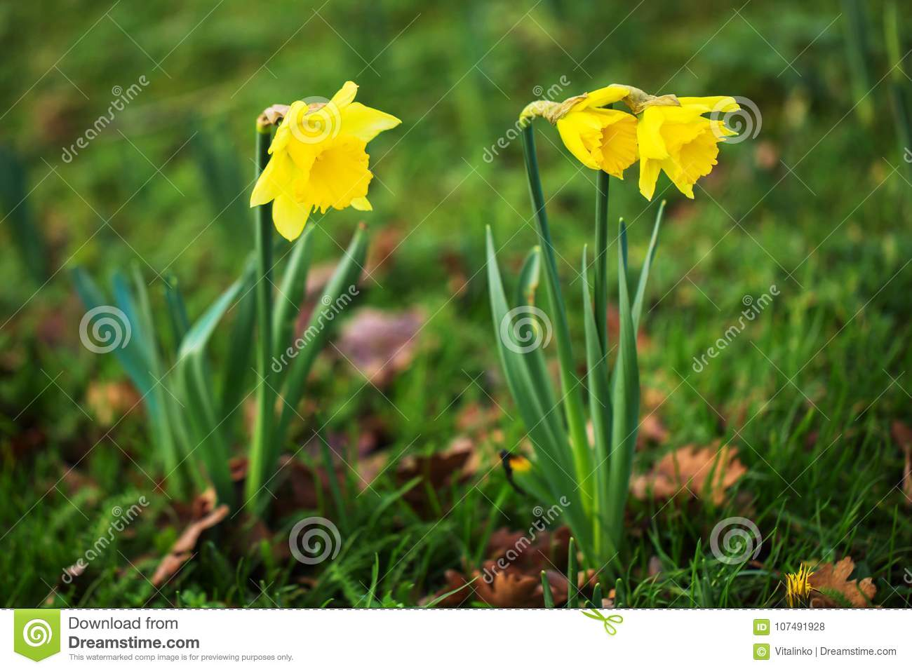 The first spring flowers daffodils spring flowers freshness b download the first spring flowers daffodils spring flowers freshness b stock photo mightylinksfo