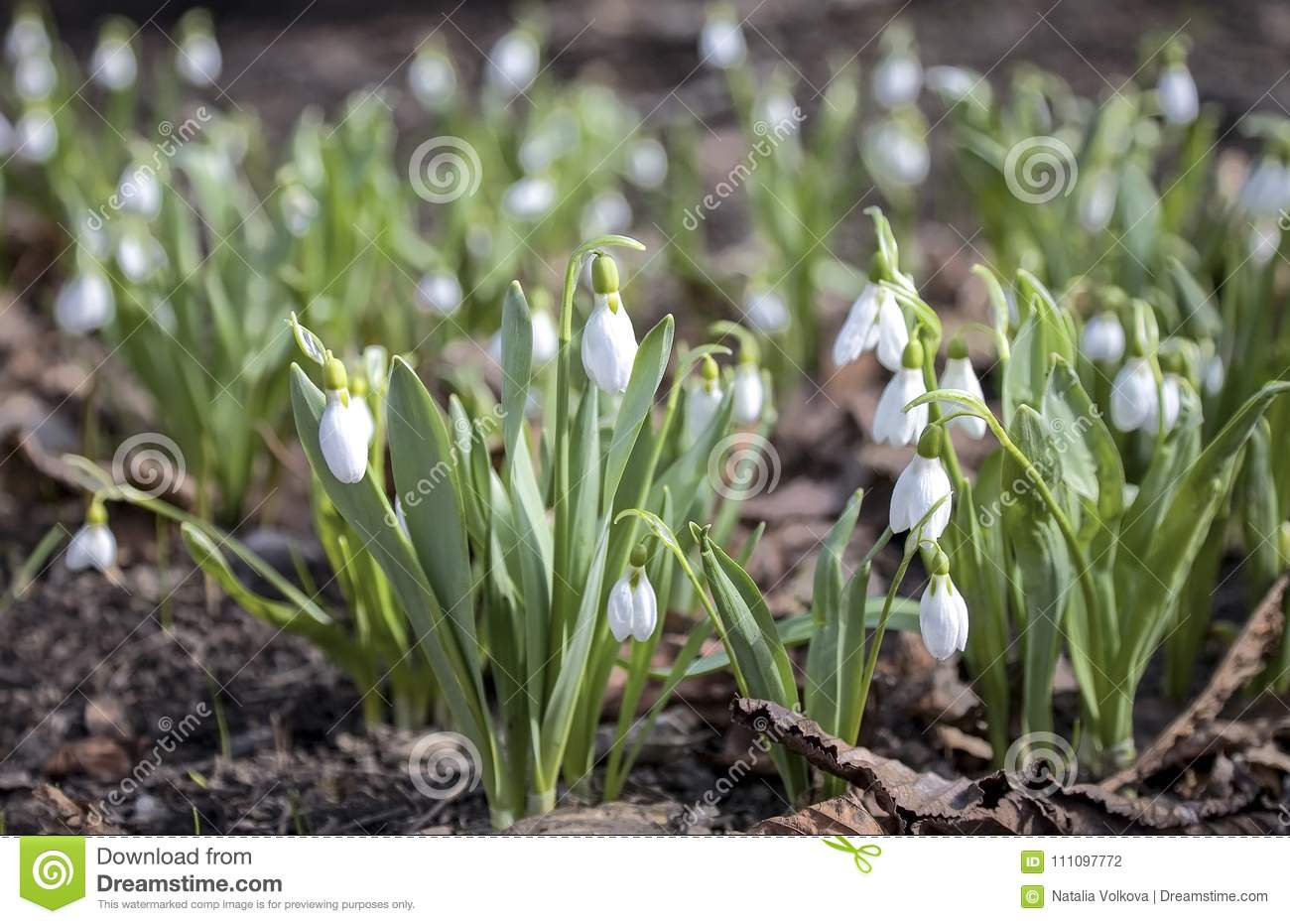 The first spring flowers snow white snowdrop stock photo image of download the first spring flowers snow white snowdrop stock photo image of first mightylinksfo