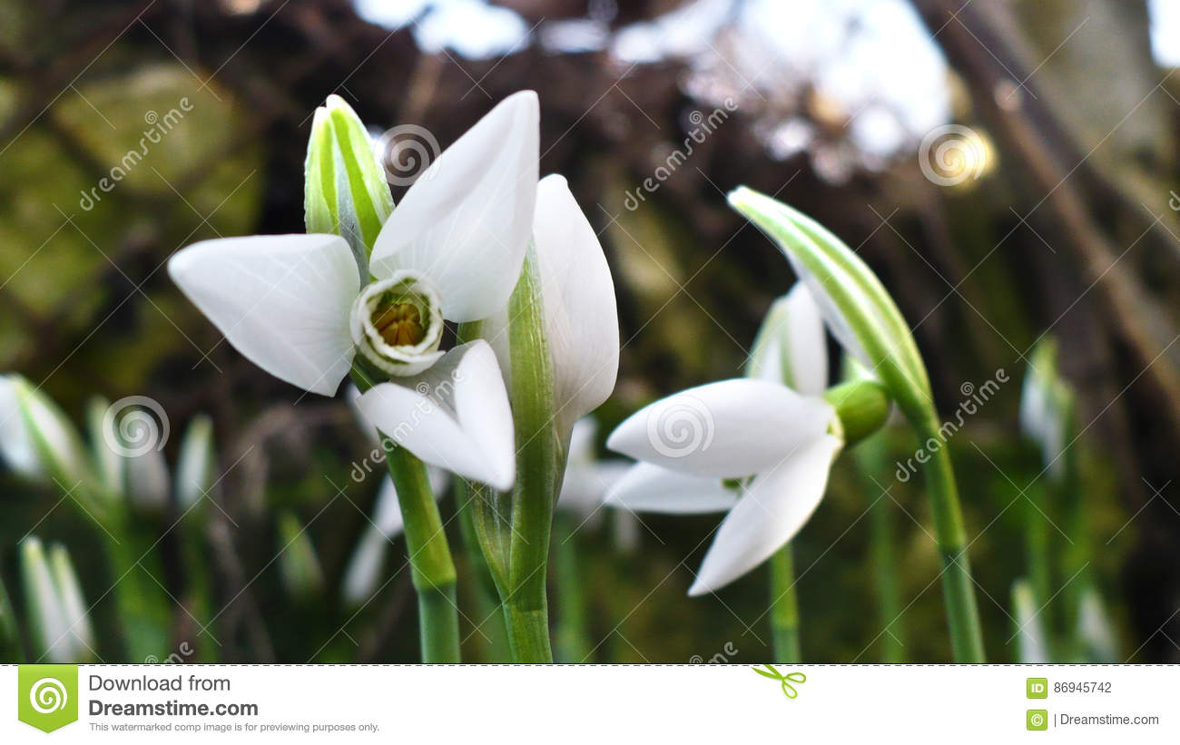 First Spring Flowers White Blooming Snowdrops In Garden Sunlight
