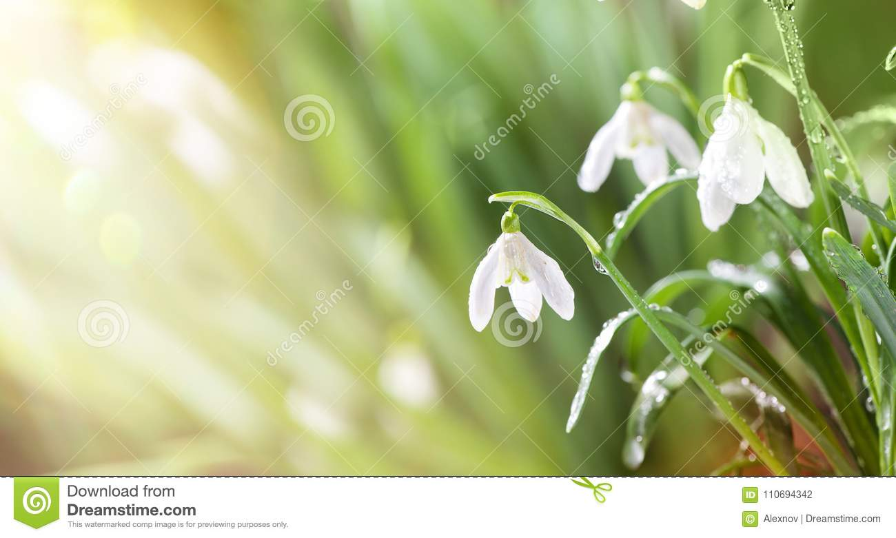 first spring snowdrops flowers with water drops in gadern stock