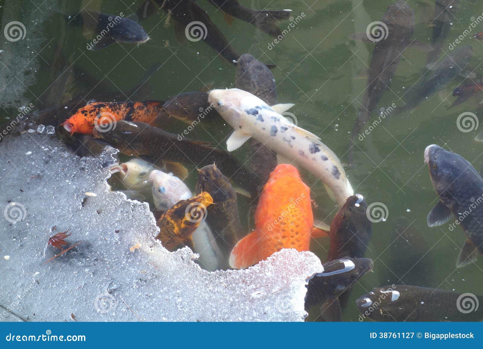 Fische auf teilweise gefrorenem teich lizenzfreie for Fische teich winter