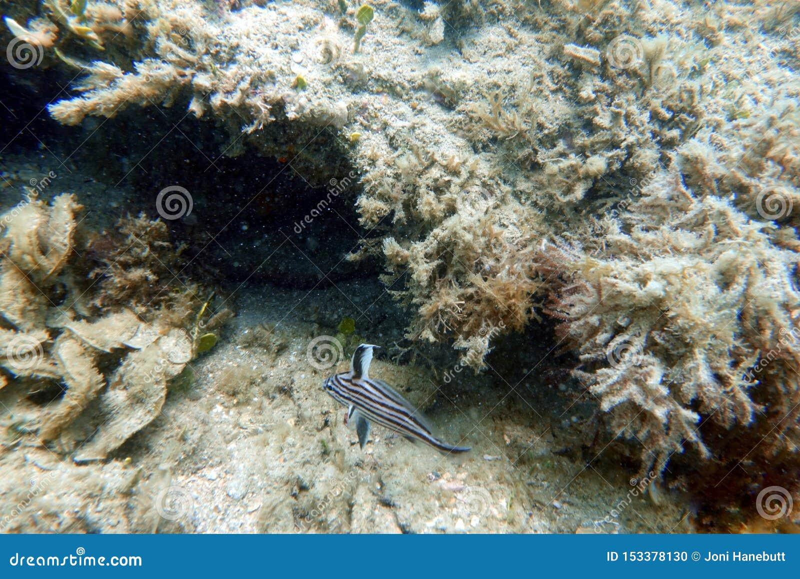 Fische des hohen Hutes, die im klaren blauen Ozean schwimmen