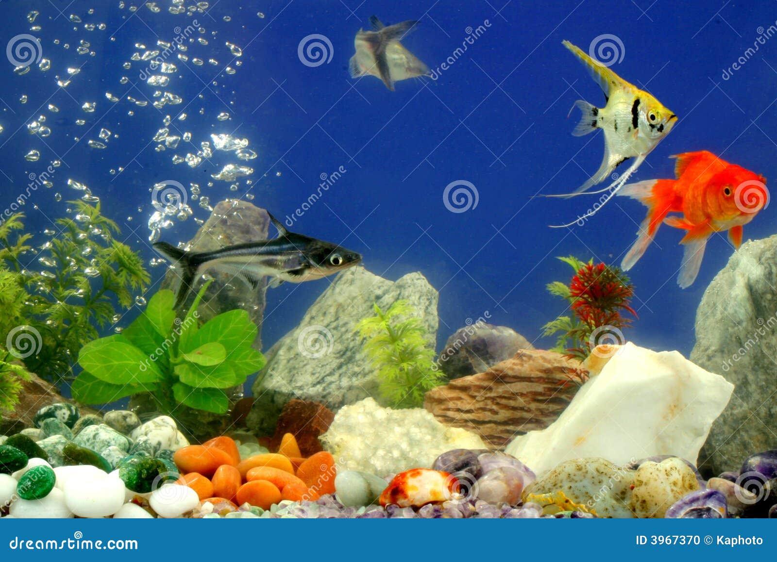 Fische im aquarium stockfoto bild von fische gold for Fische aquarium