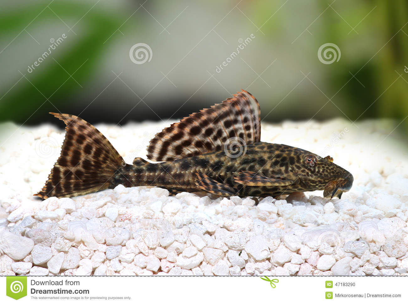 Fische pleco wels hypostomus plecostomus pterygoplichthys for How to feed fish