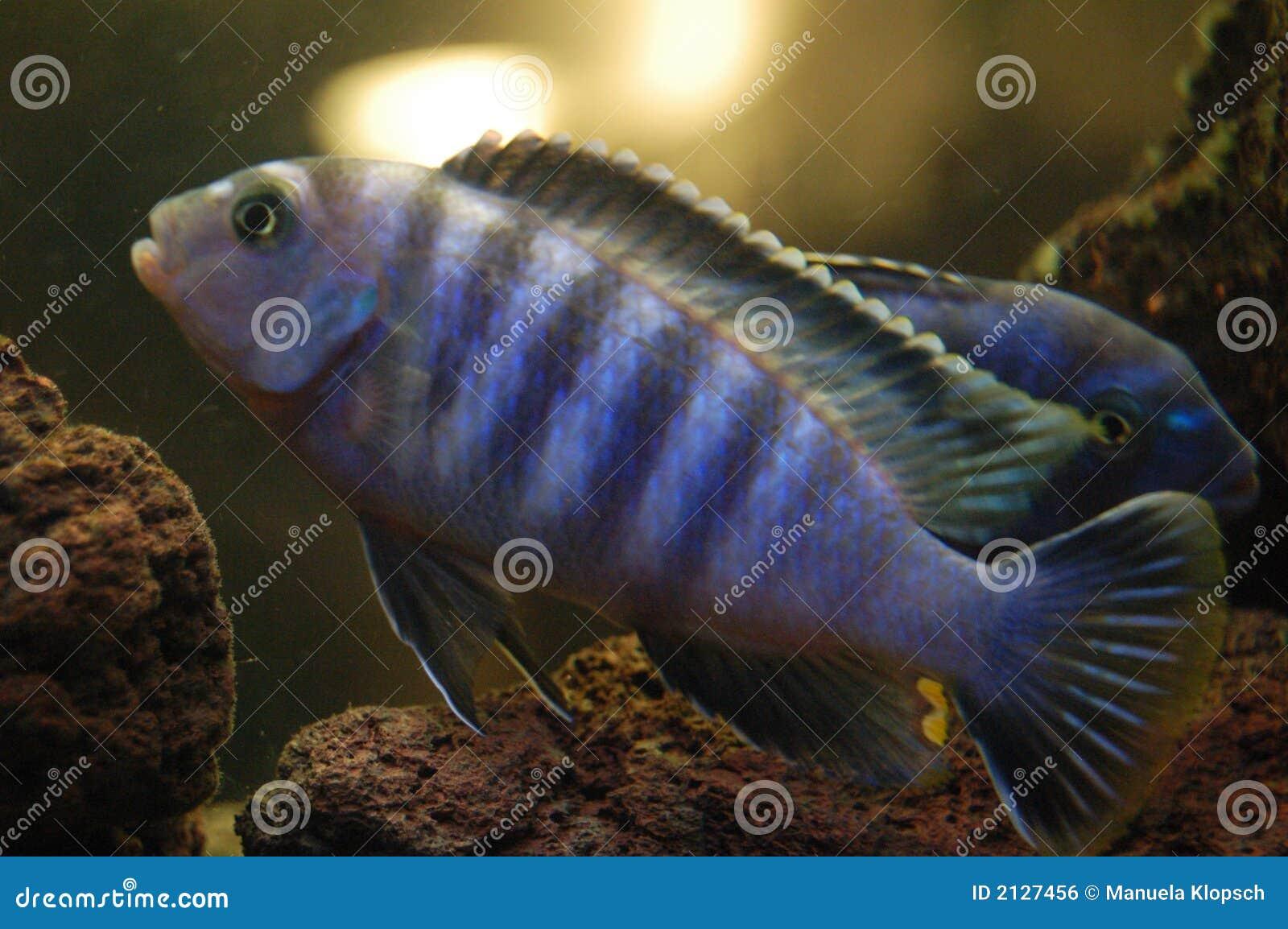 fische von malawi stockfoto bild von afrika aquarium 2127456. Black Bedroom Furniture Sets. Home Design Ideas
