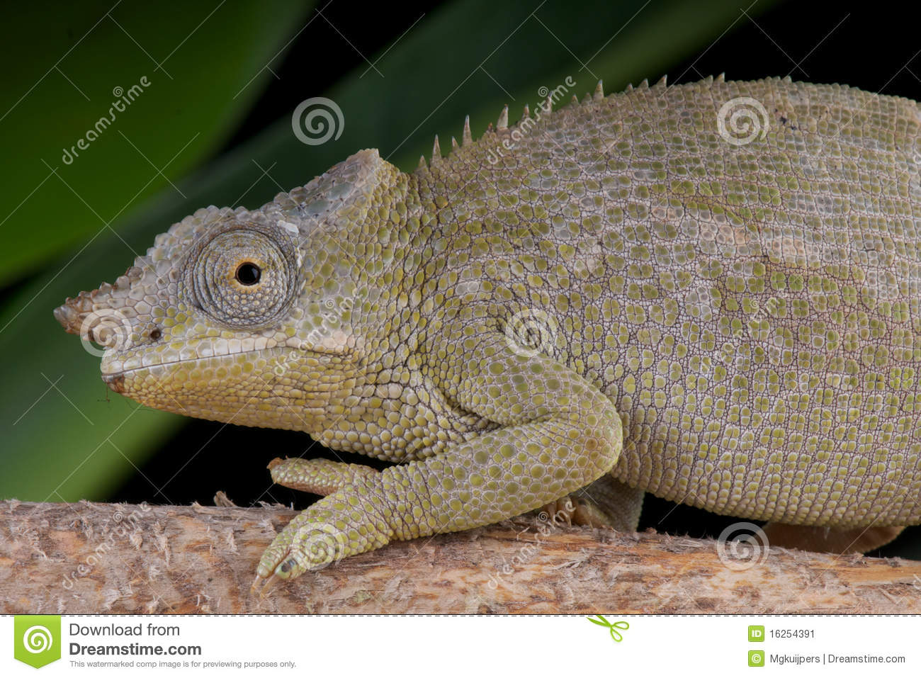 Fischers chameleon female stock image image of fischer 16254391 download comp thecheapjerseys Images