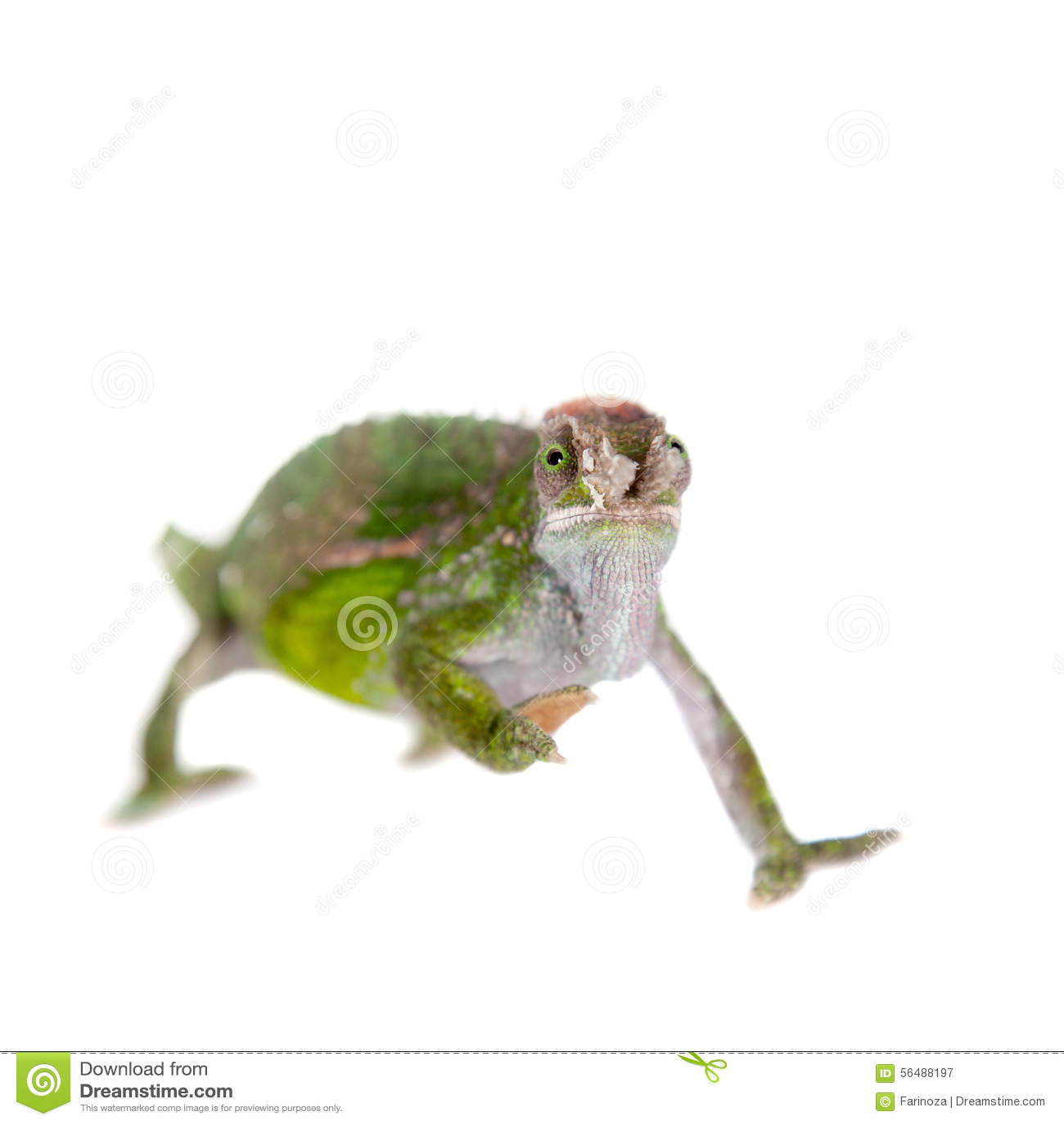 Fischer s chameleon, Kinyongia fischeri on white