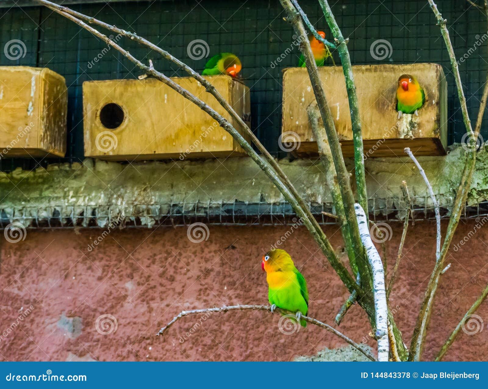 Fischers dvärgpapegojor i färgrika och vibrerande dvärg- papegojorna de aviarium, populära husdjur i aviculture