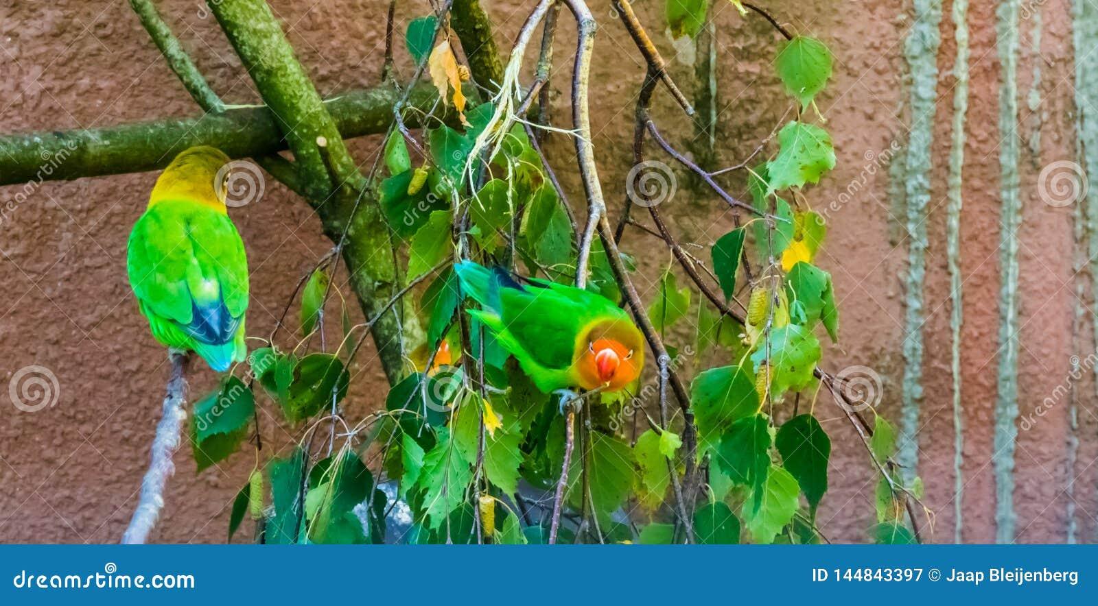 Fischers dvärgpapegojor som sitter på papegojor för filial för träd färgrika och tropiska små, från africa, populärt hus