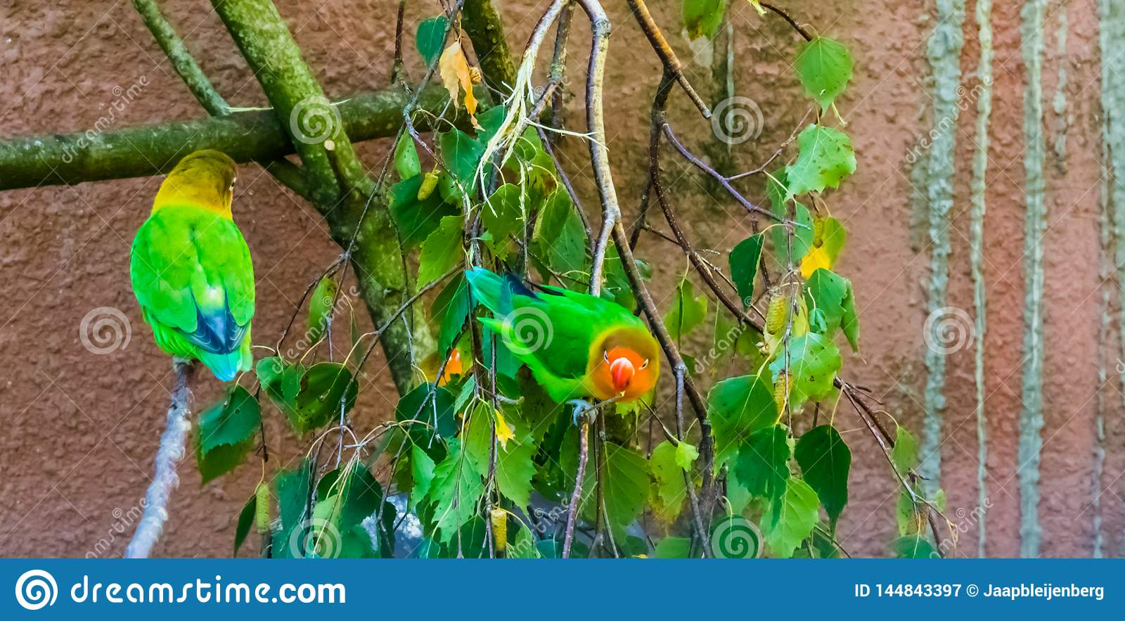 Fischers lovebirds siedzi na gałąź, kolorowych i tropikalnych małych papugach od Africa, popularny zwierzę domowe w ptasznic