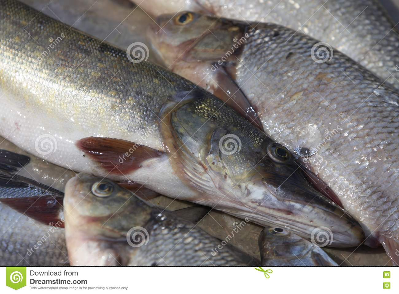 Fish royalty free stock images image 9562029 for Fresh fish online
