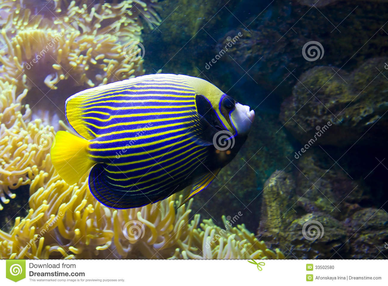 Fish angel fish emperor and actinia sea anemone stock for Ocean fish names