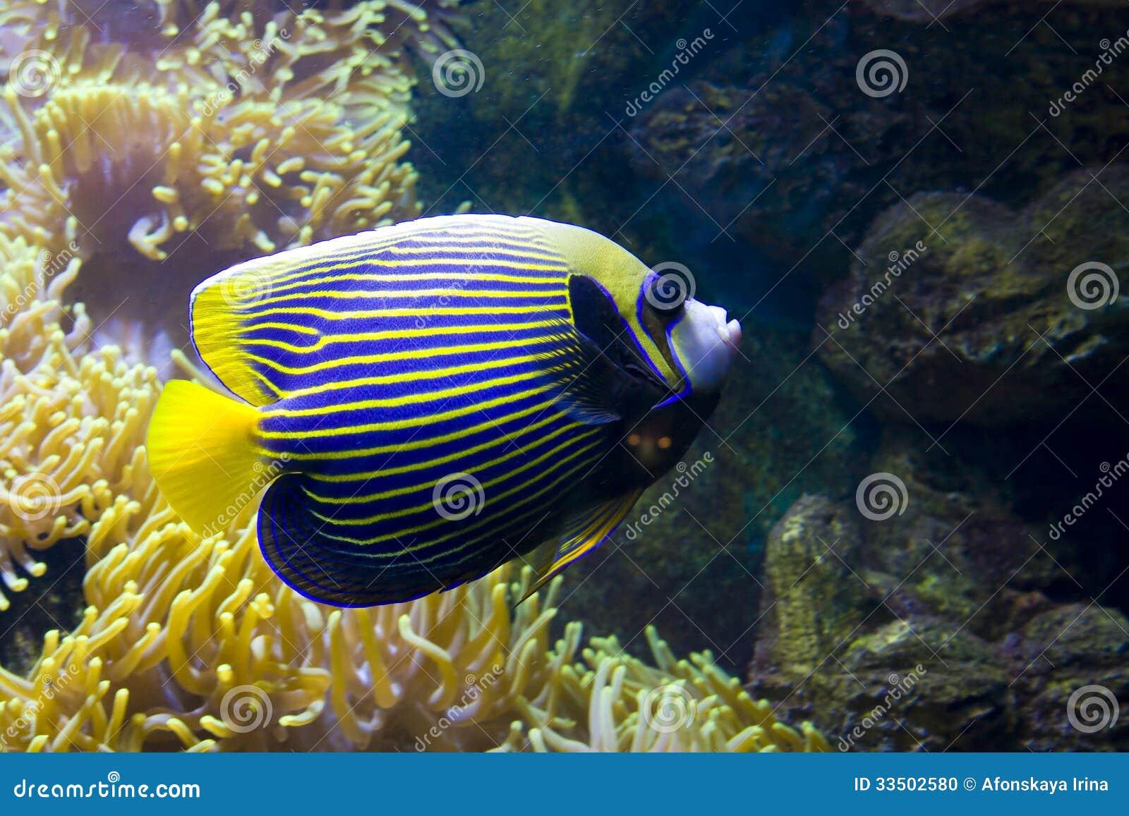 Fish Angel Fish Emperor And Actinia Sea Anemone Stock