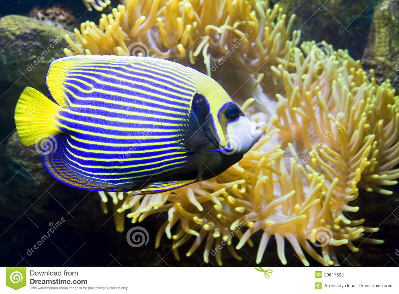 Fish Angel Or Fish Emperor And Actinia Sea Anemone Stock
