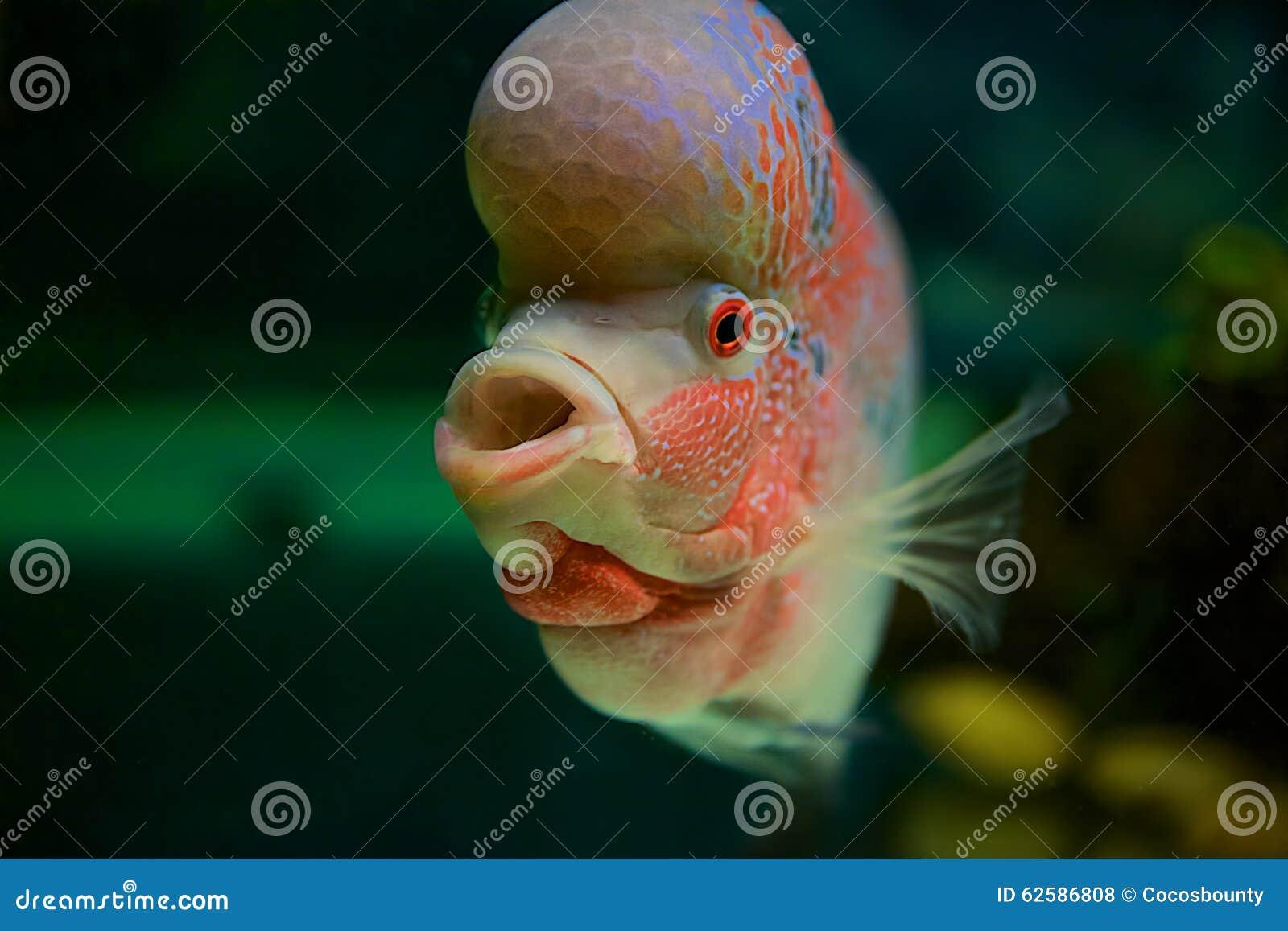 Fish for big aquarium - Fish With Big Head Royalty Free Stock Photos