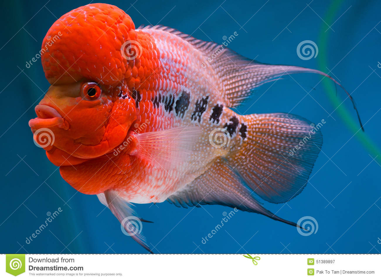 Fish With Big Head Stock Photo - Image: 51389897