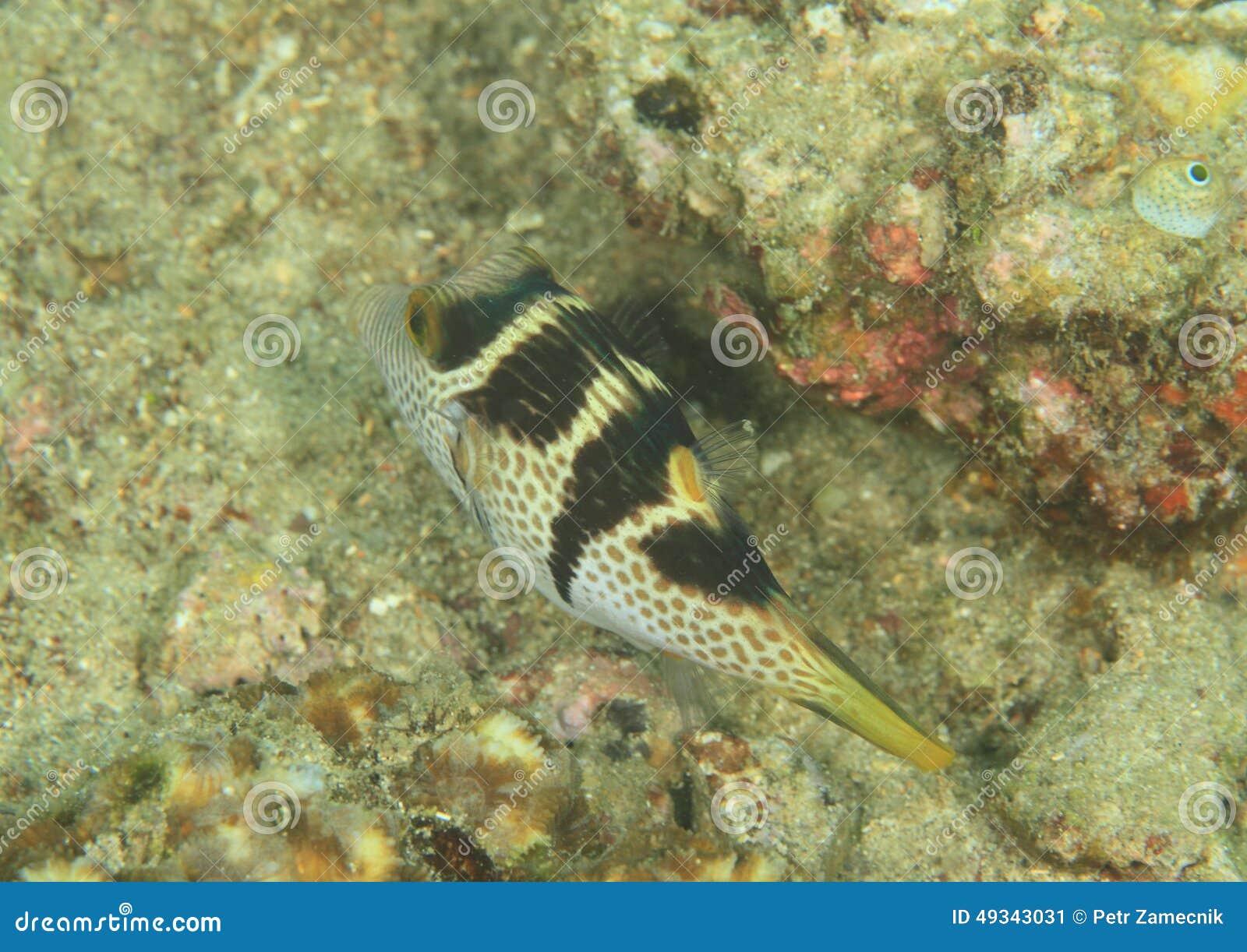 Fish - Black-saddled toby