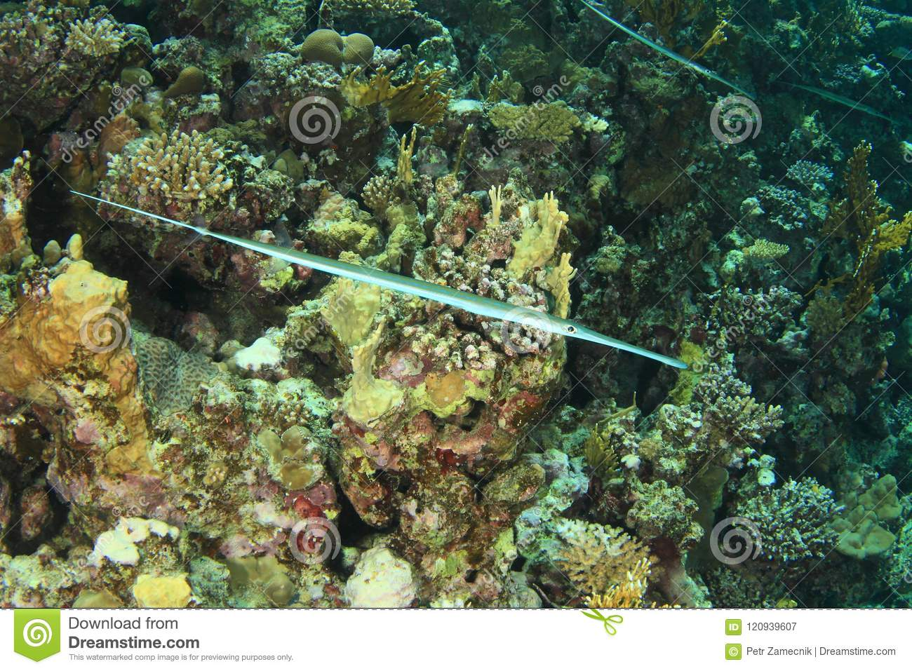 Fish - Bluespotted cornetfish