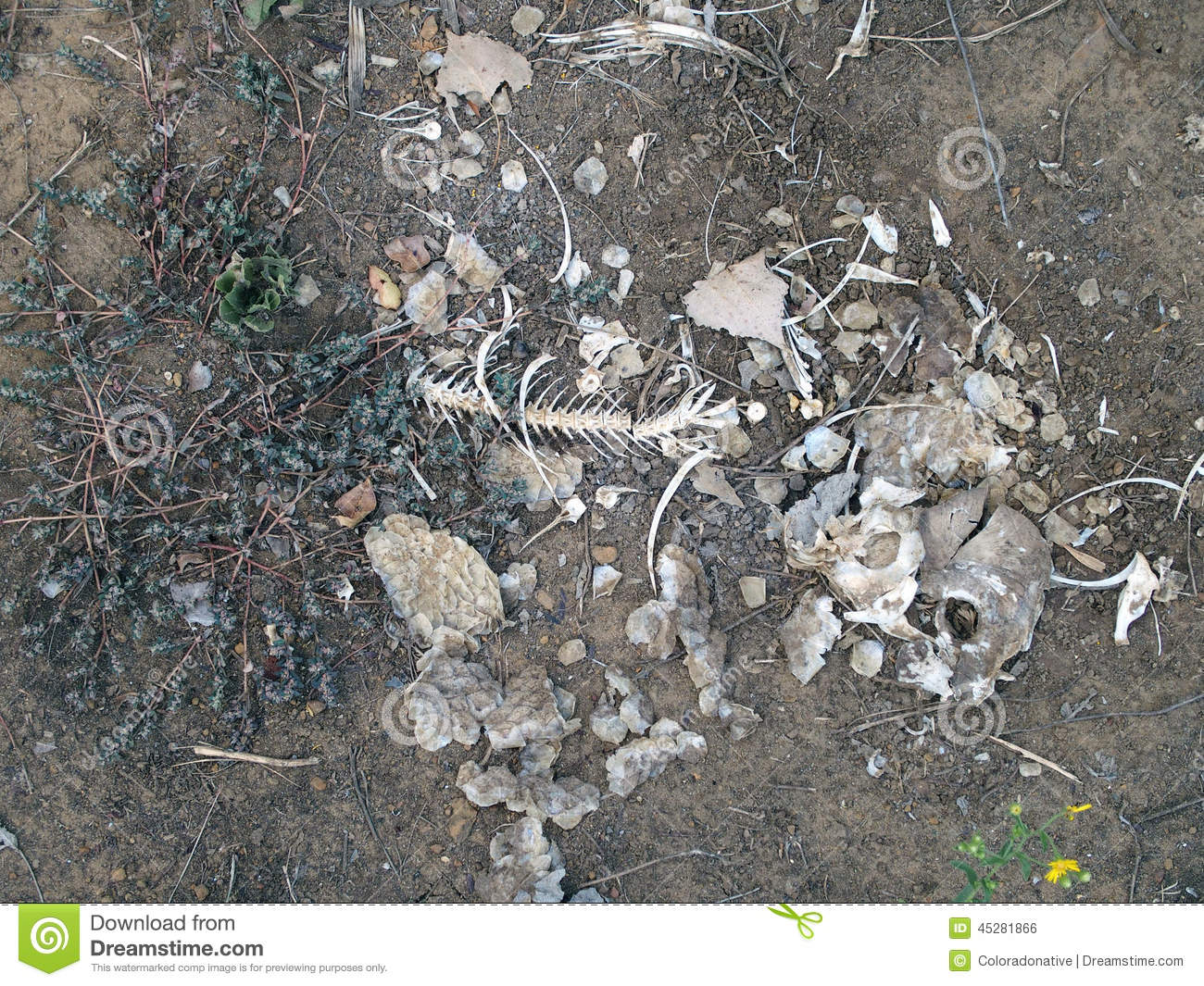 3a1661fd880b Scattered bones of a fish left behind in a dry lake drained by drought.
