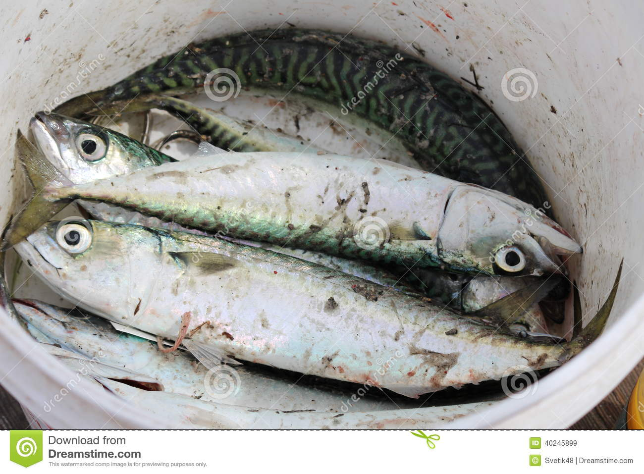 Fish in bucket stock photo image 40245899 for Bucket of fish