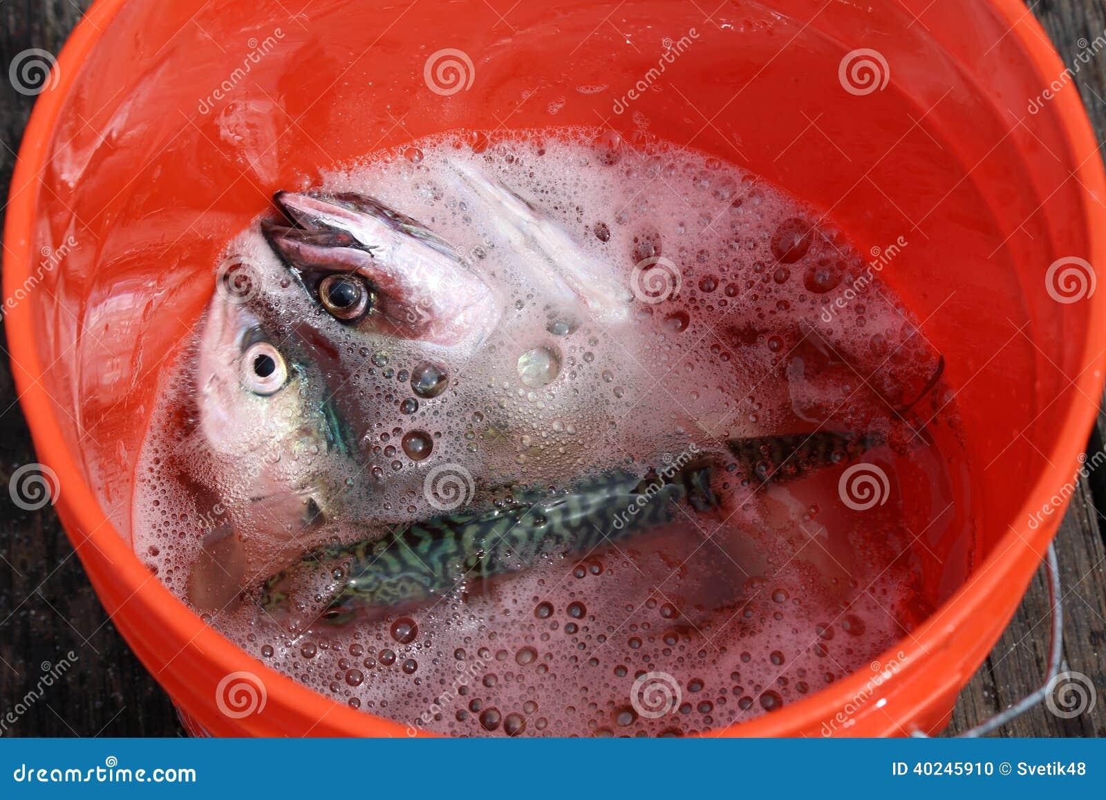 Fish in bucket for Bucket of fish