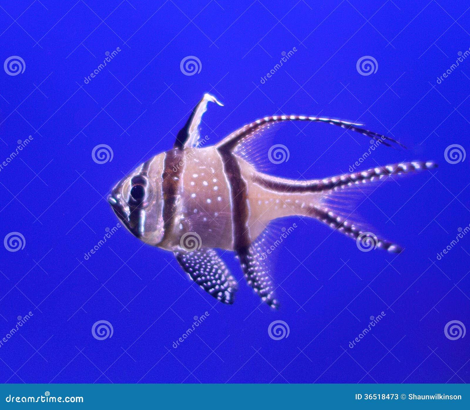 Fish cardinal