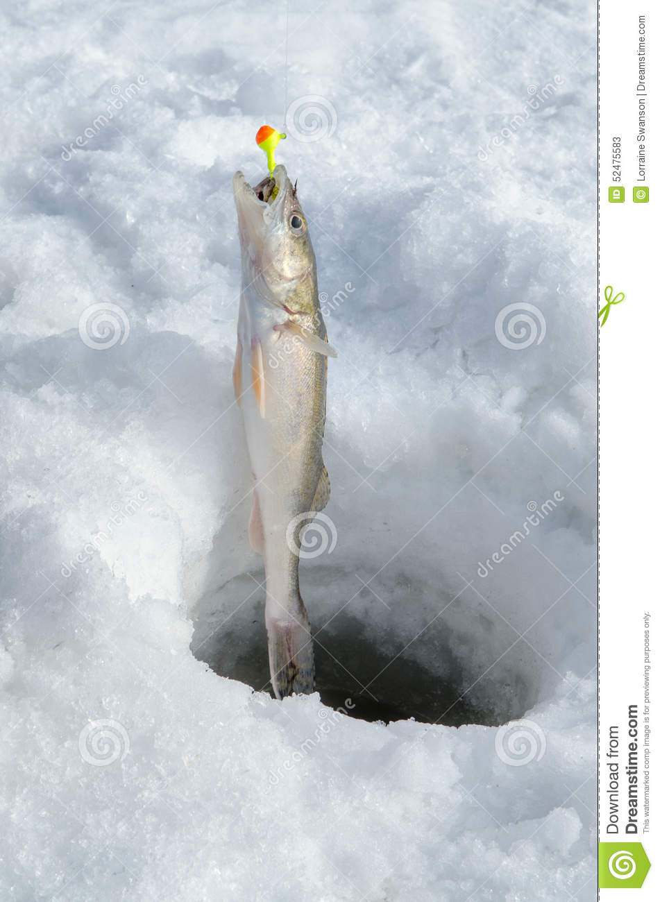 Fish caught in ice fishing hole on line stock image for How to ice fish