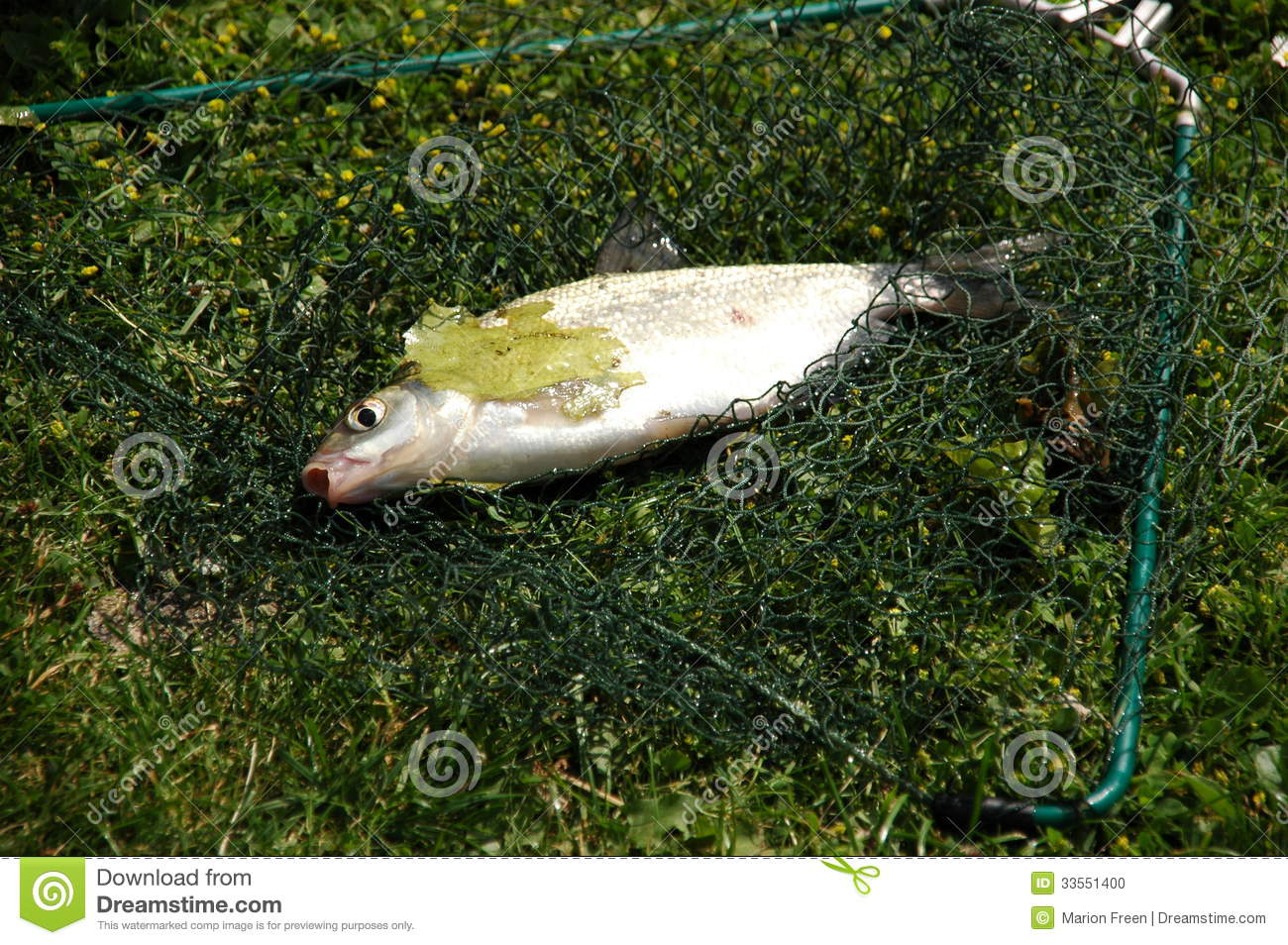 Fish caught in a net stock photo image 33551400 for Small fish net