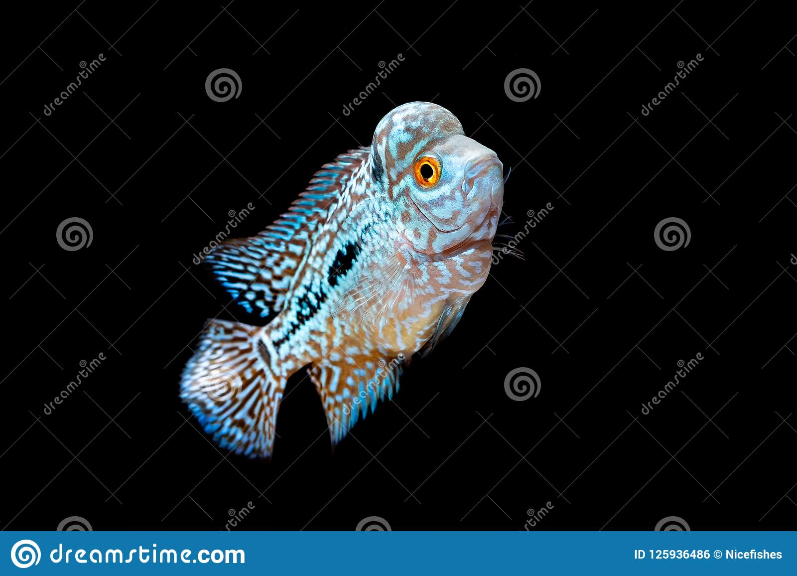 Cichlids Kingkamfa In The Aquarium Stock Photo Image Of Funny