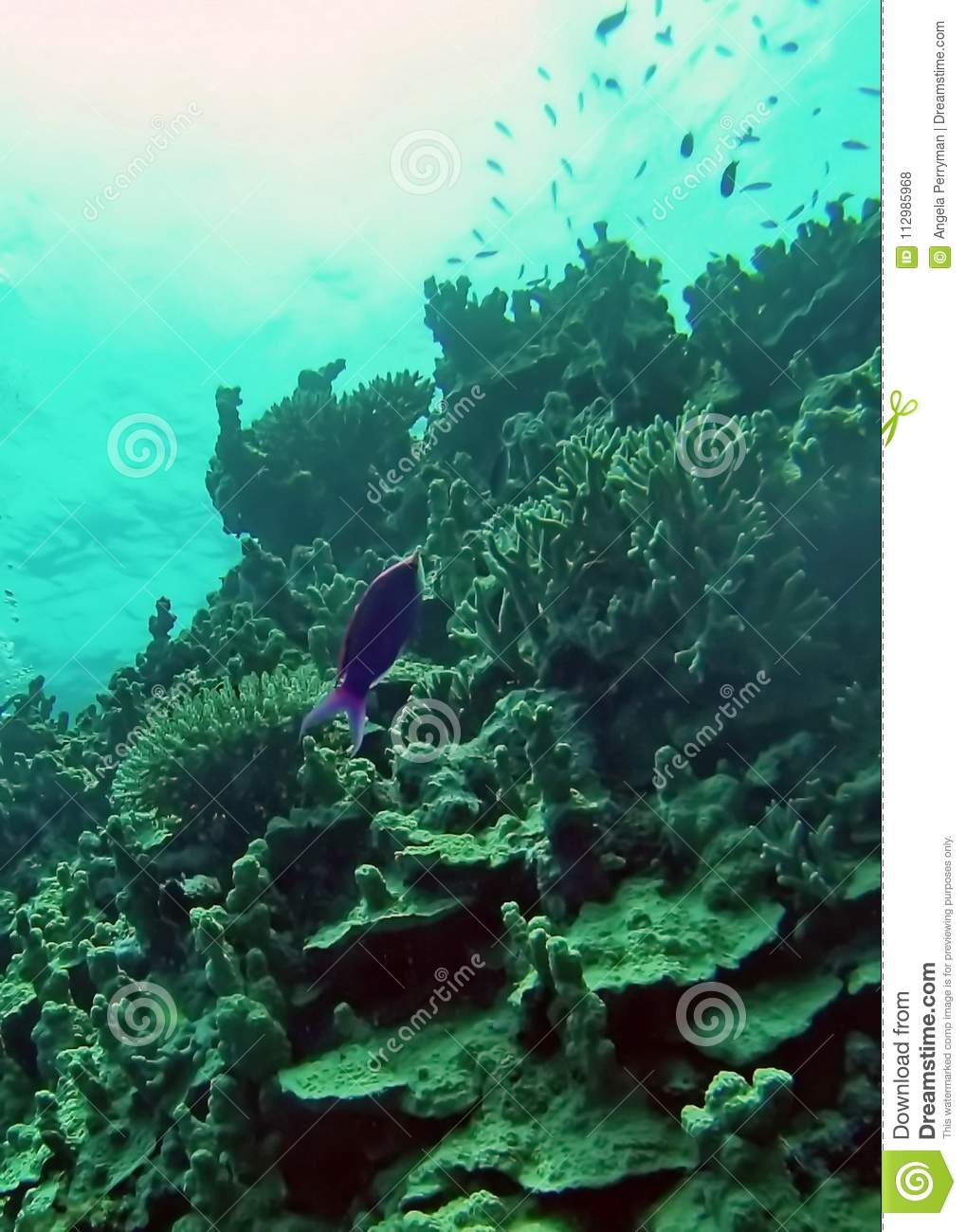 Fish on a coral head on the Great Barrier Reef
