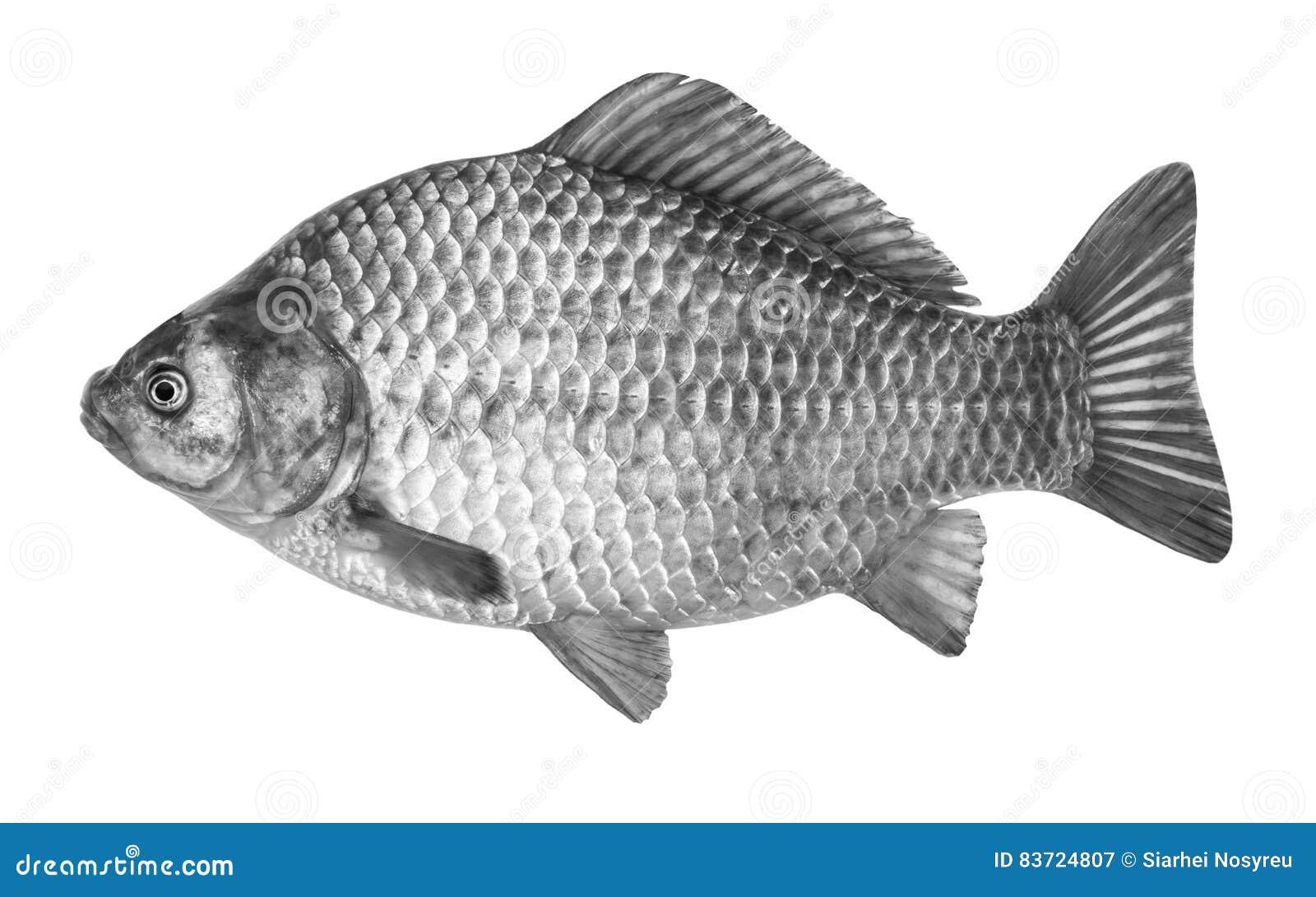Fish Crucian Carp, Isolated On White Background. Stock Photo
