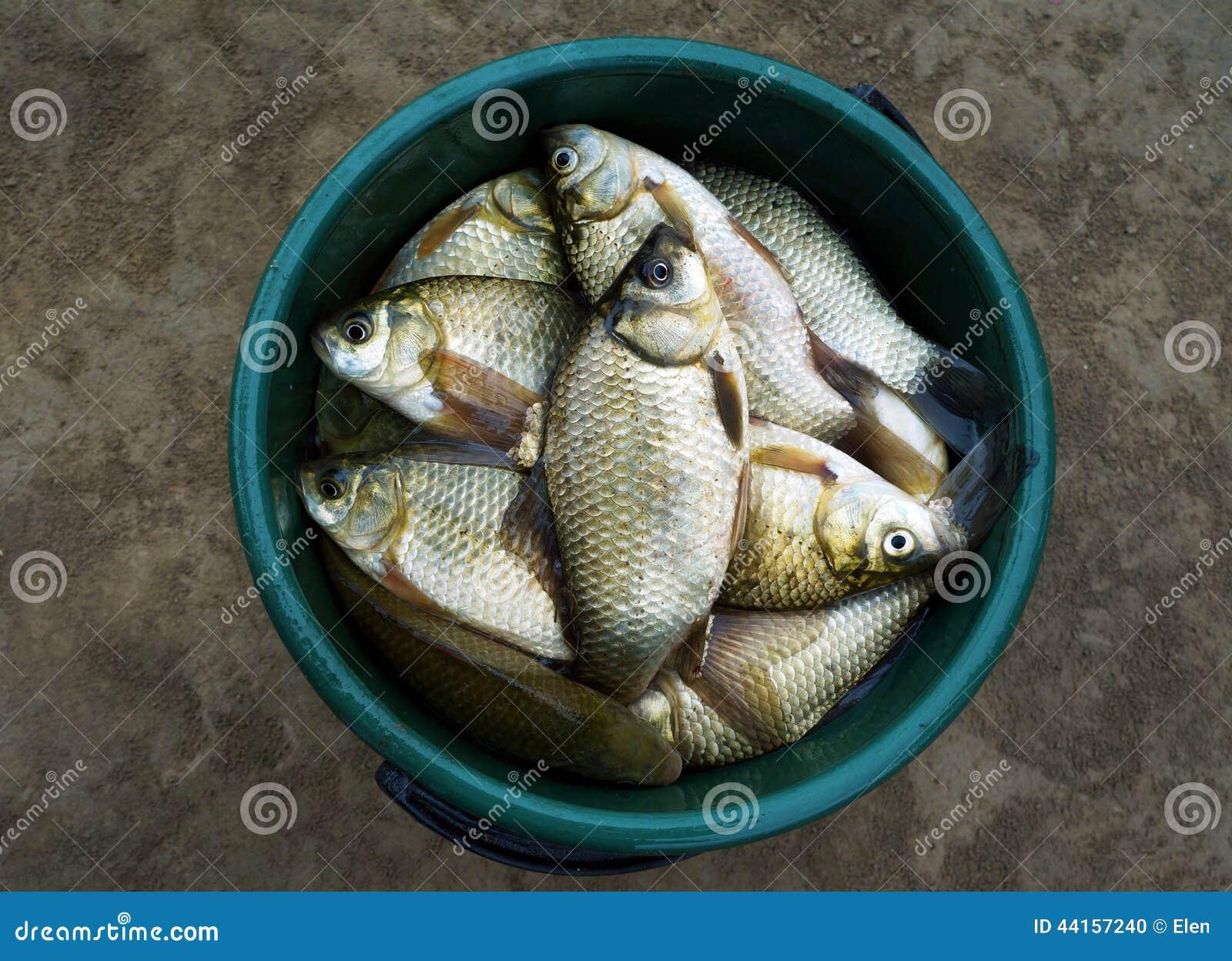 Fish crucian river carp stock photo image 44157240 for Bucket of fish