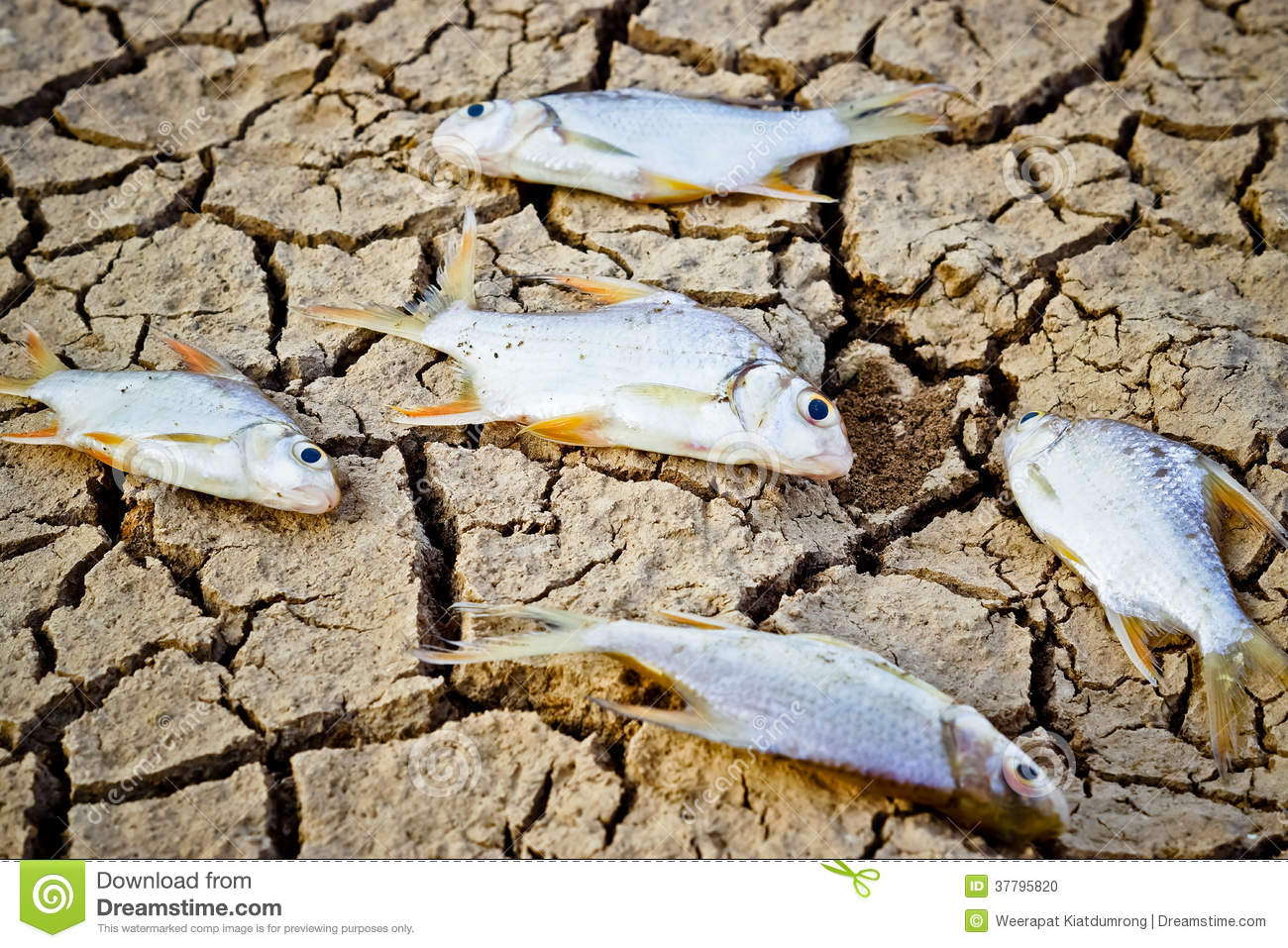 Fish died on cracked earth stock photo  Image of ecology
