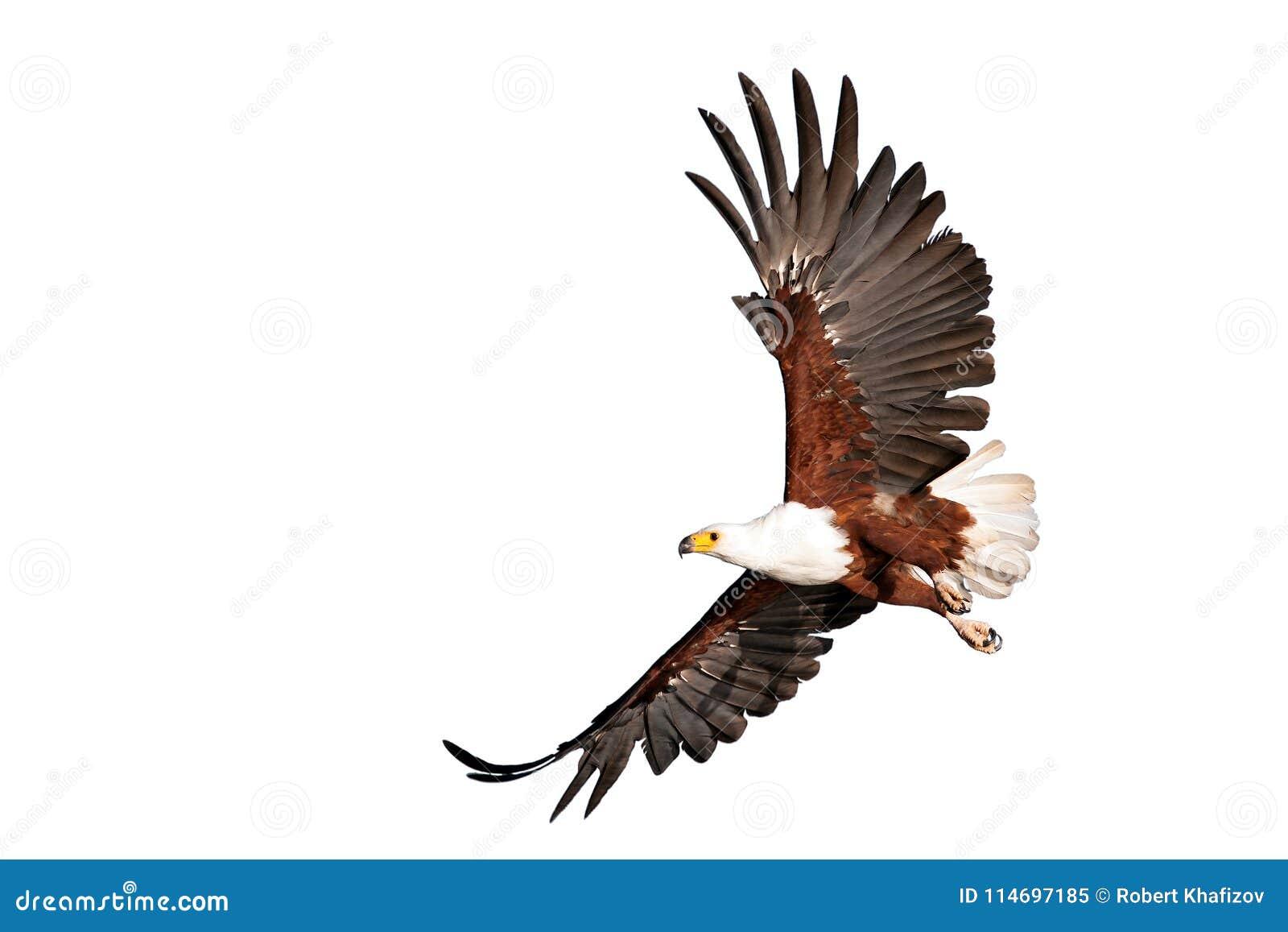 Fish eagle beautifully flying on isolated white background