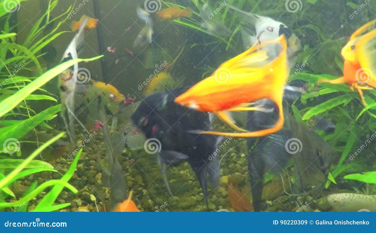 Fish Eat Worms In A Home Aquarium Stock Video Video Of Orange