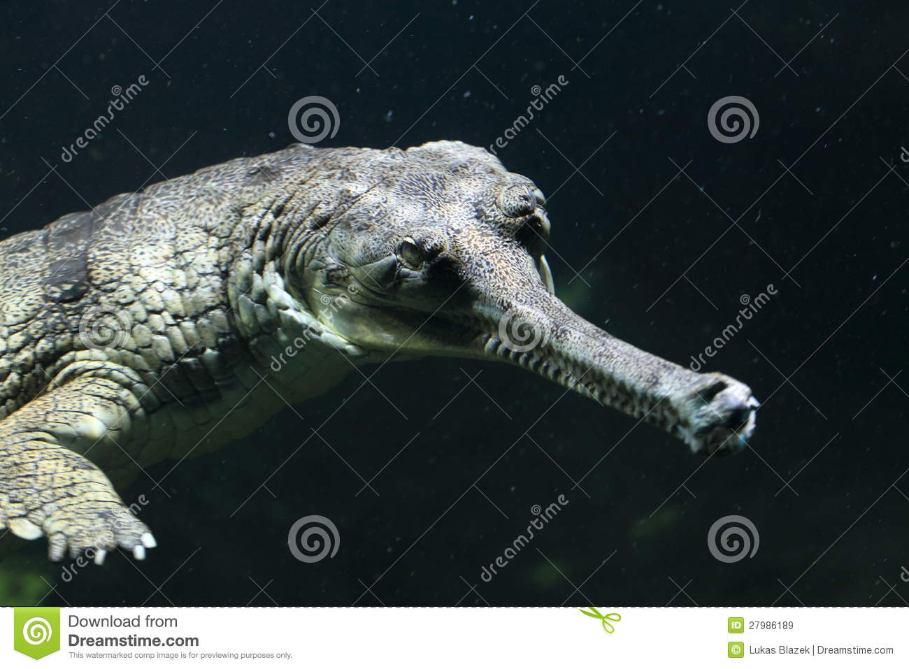 Fish eating crocodile stock image image of gharial for Dreaming of eating fish