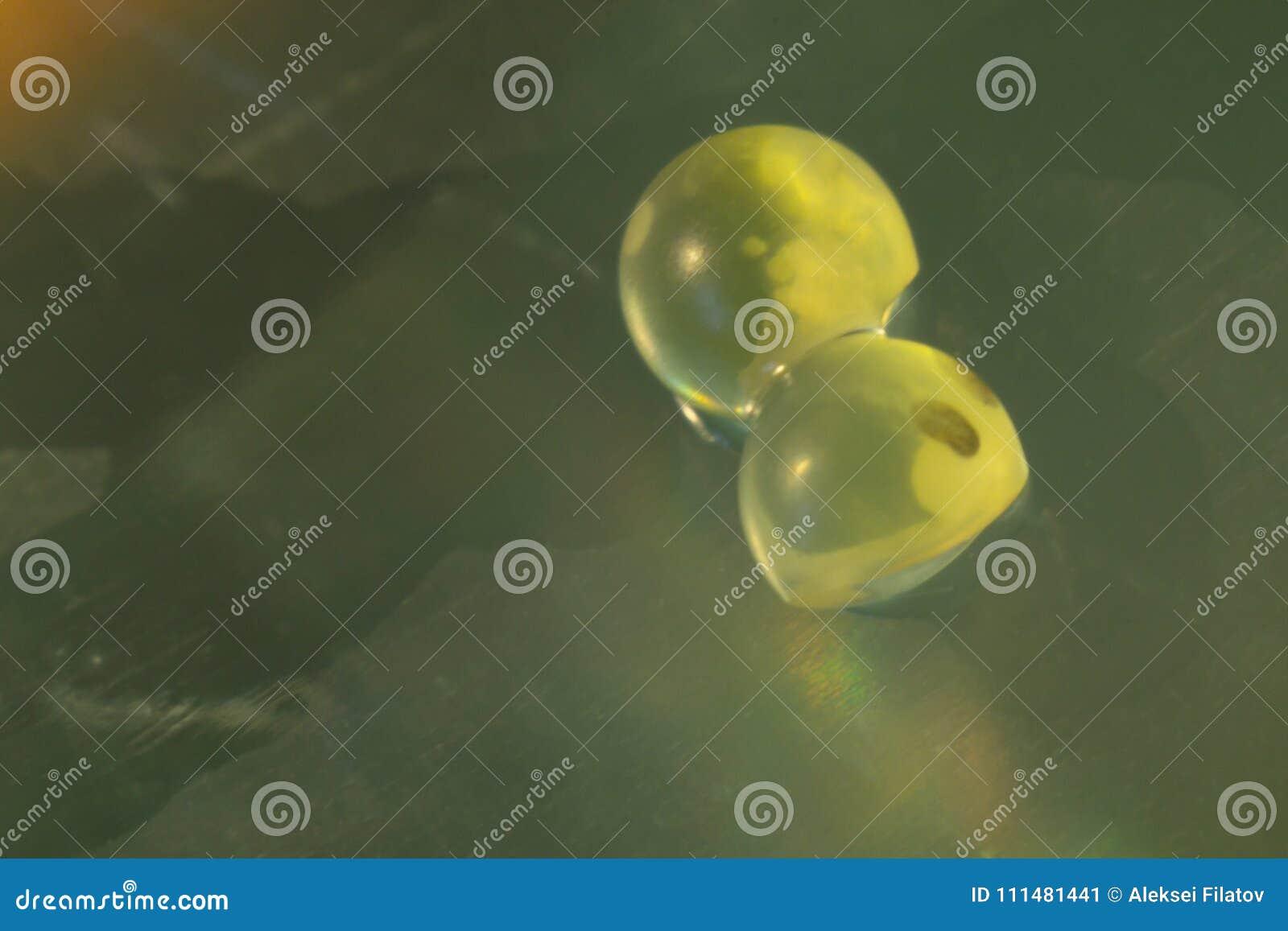 Fish eggs macro