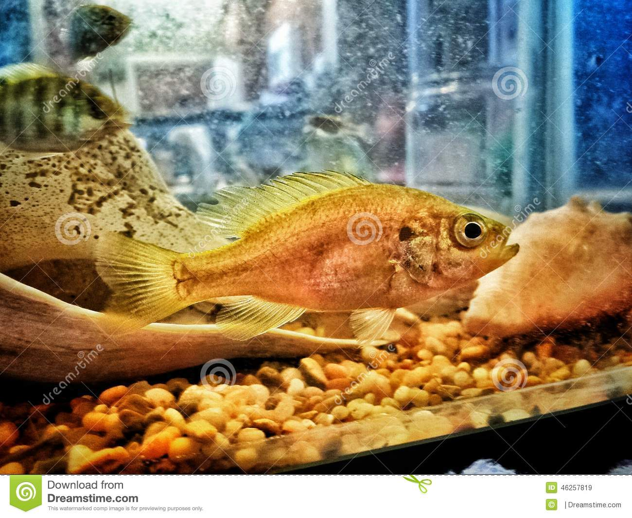 Fish face stock photo image 46257819 for Bluegill fish tank