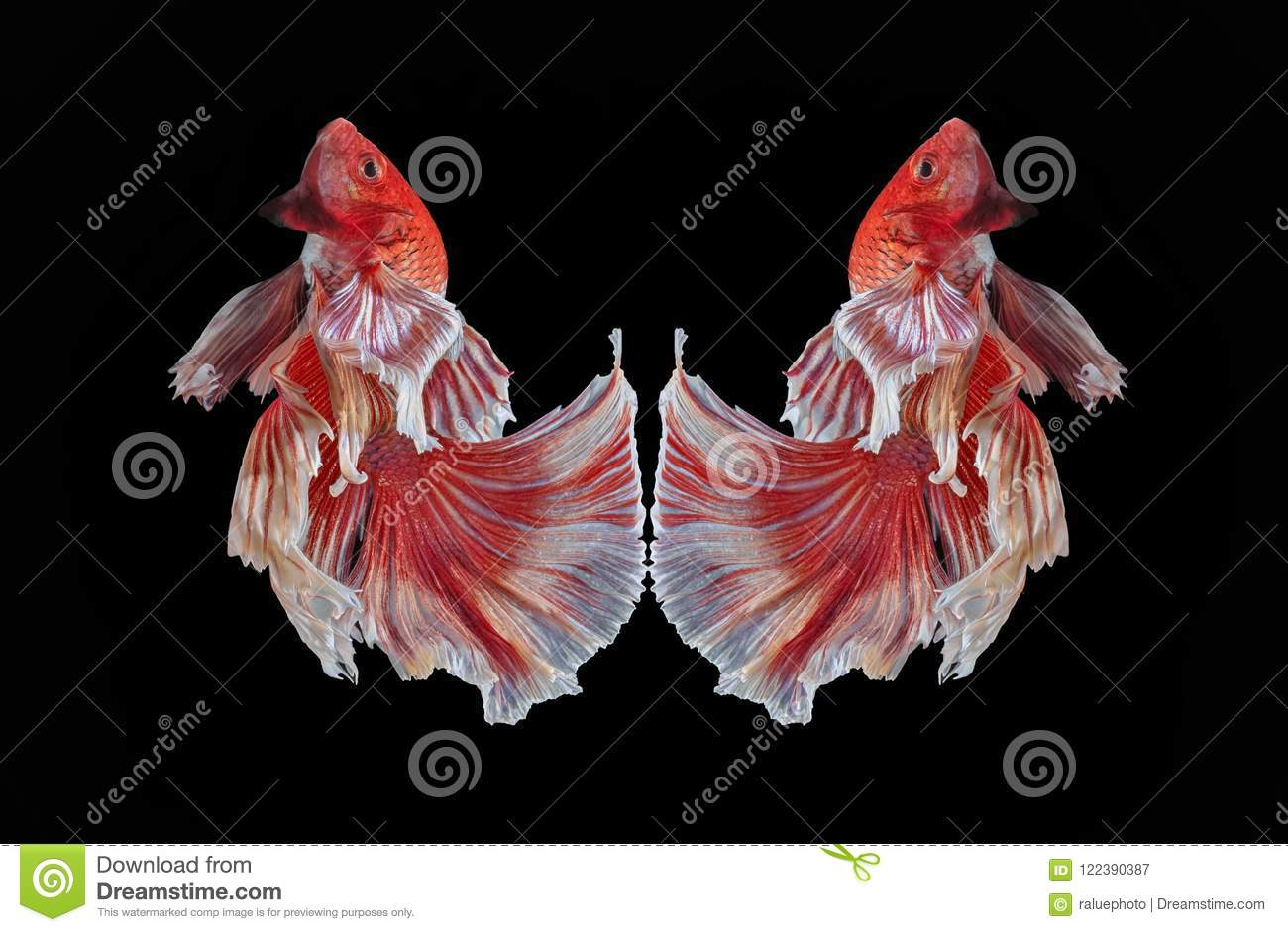 Fish Fighting, Beautiful Fish, Colorful Fish Fighting Siam, Colorful ...