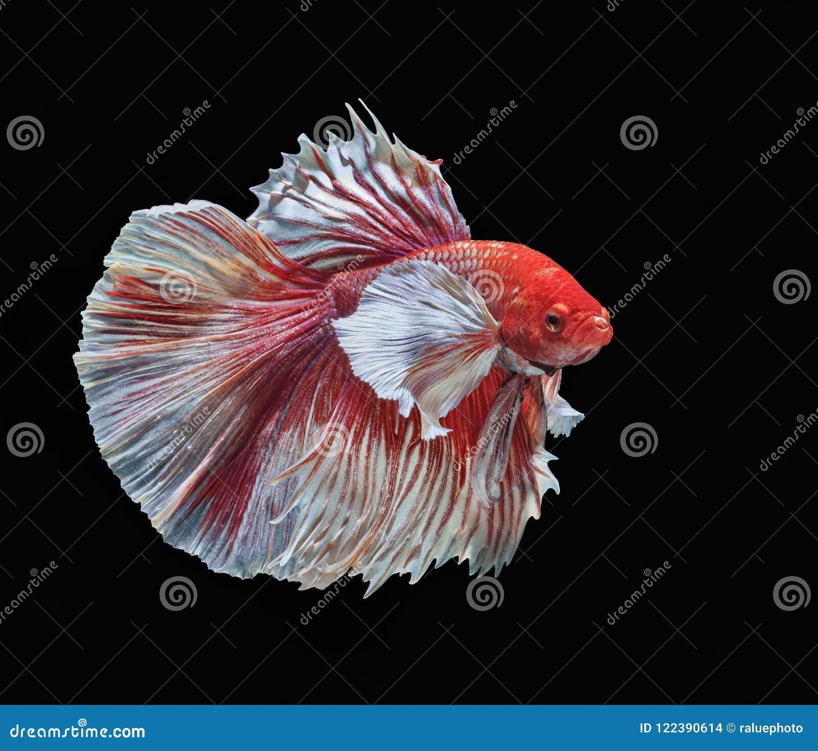 Fish Fighting, Beautiful Fish, Colorful Fish Fighting Siam, Colorful ...