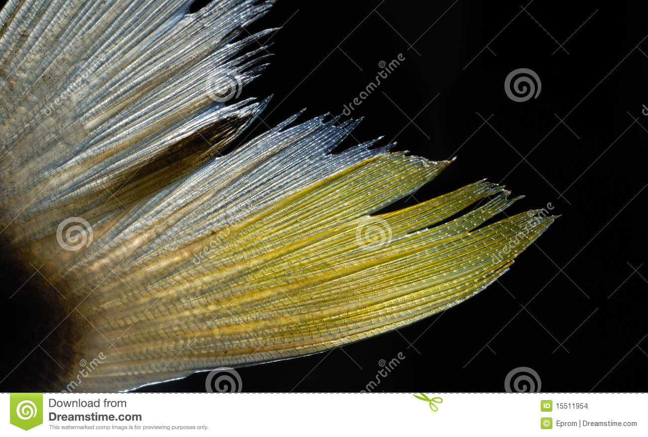 Fish fin stock images image 15511954 for Fish tail fin