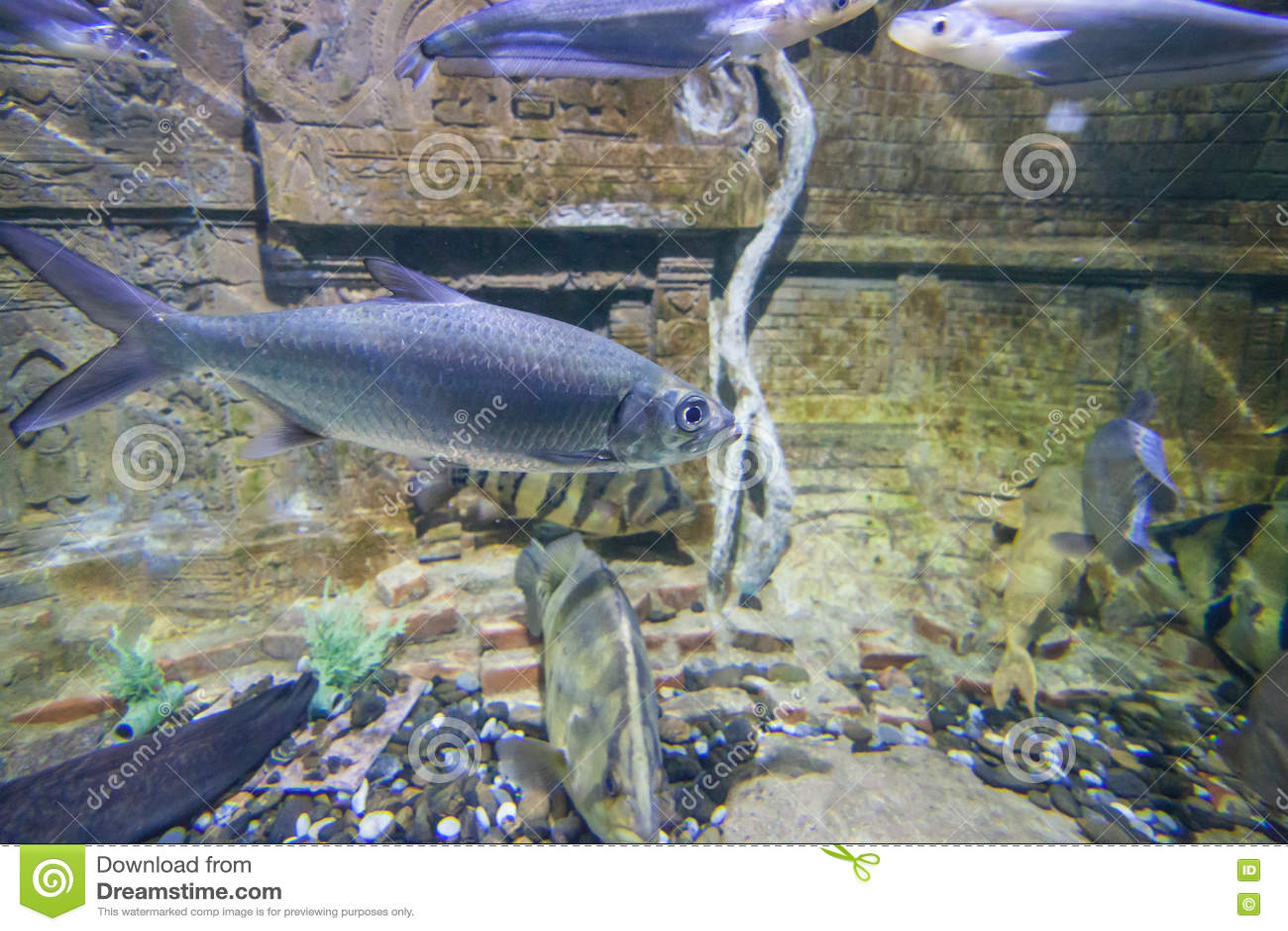The fish in the fish tank stock photo image 82080549 for Mai mai fish