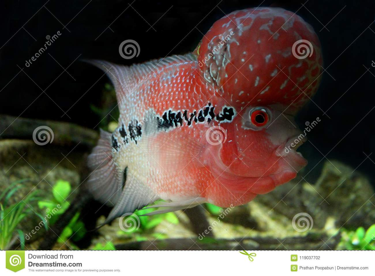 Fish : Flower Horn Cichlid Cichlasoma Trimaculatum Stock Photo ...